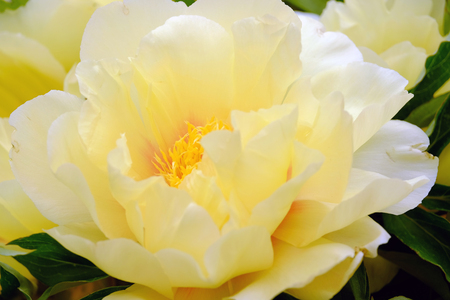 backdop: The big beautiful full-blown yellow flower peony close up Stock Photo