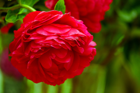 The big beautiful full-blown red flower peony close up