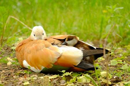 Beautiful duck with chicks under her wings