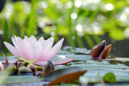 Beautiful pink water lily in the water close-up Stock Photo