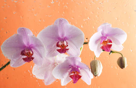 Beautiful pink orchid on orange background. Photo beautiful flower.
