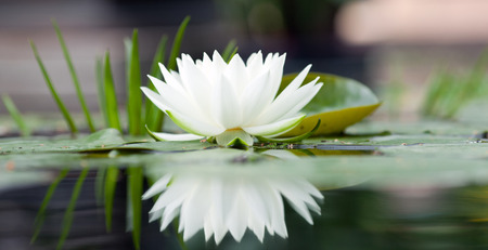 Beautiful white water lily on the water close-up Stock Photo