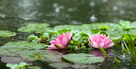 backdop: Beautiful pink water lily in the water close-up Stock Photo