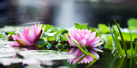 nenuphar: Beautiful pink water lily in the water close-up Stock Photo