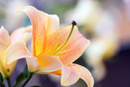 backdop: Beautiful lily close-up on a blurred background