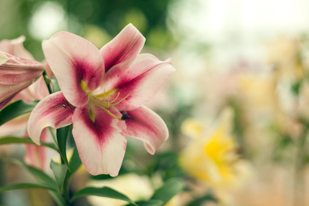 Beautiful lily close-up on a blurred background