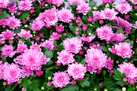 Beautiful blooming pink chrysanthemum with a view from the top