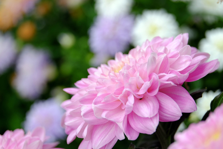 backdop: Beautiful blooming pink chrysanthemum close up on blurred background