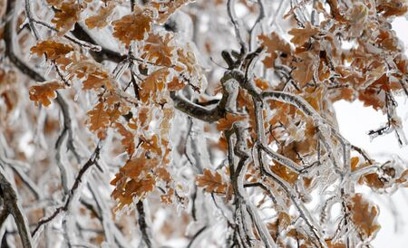 backdop: Branch with autumn leaves in ice. A tree covered with ice Stock Photo