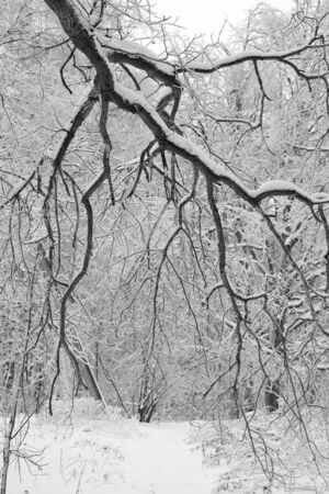 backdop: Photo tree branches on a background of snow-covered trees Stock Photo