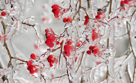 Red frozen rowan berries on a branch in the ice Standard-Bild