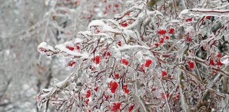 sorb: Red frozen rowan berries on a branch in the ice
