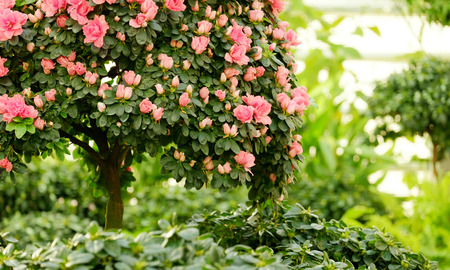 backdop: Azaleas on a miniature tree on blurred background Stock Photo