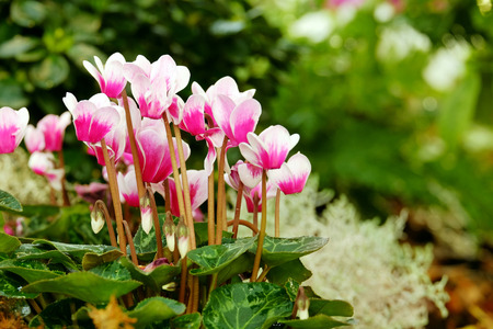 backdop: Beautiful cyclamen flowers close up on blurred background