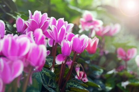 Beautiful cyclamen flowers close up on blurred background