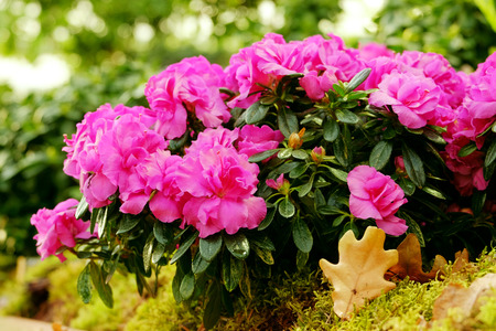 backdop: Beautiful pink azalea close up on blurred background
