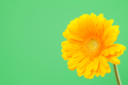 Beautiful yellow gerbera on a bright green background Stock Photo