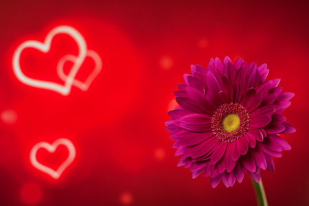Beautiful purple gerbera on a bright red background with hearts Stock Photo