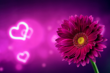 Beautiful purple gerbera on a bright purple background with hearts