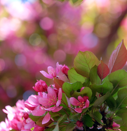 Beautiful pink flower decorative apple trees close up with bokeh