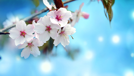 Beautiful Sakura flowers in bloom on blurred background
