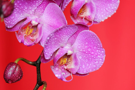 Beautiful orchid on a red backgorund. Photo beautiful flower.