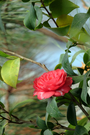 Beautiful blossoming camellia on a blurred background