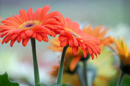 asteraceae: Beautiful red gerbera on a blurred background
