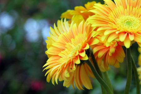 Beautiful yellow gerbera on a blurred background