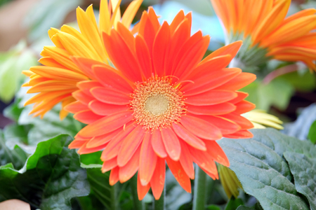 Beautiful red gerbera on a blurred background
