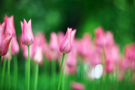 Beautiful spring pink tulips close up on a blurred background. Photo decorative tulips
