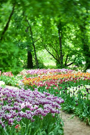 Beautiful blooming tulips in a spring garden