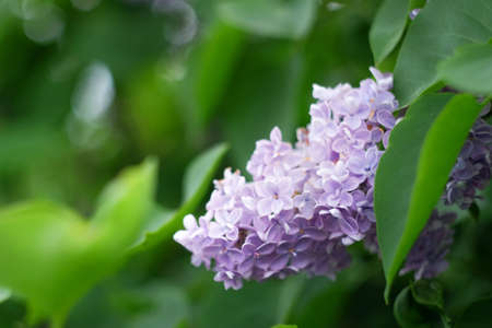 Lilac flowers on a green background. Branch of a blossoming lilac Stock Photo