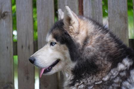 Beautiful adult dog Husky near the fence