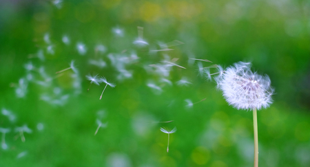 Beautiful dandelion on a blurred green background with a bokeh