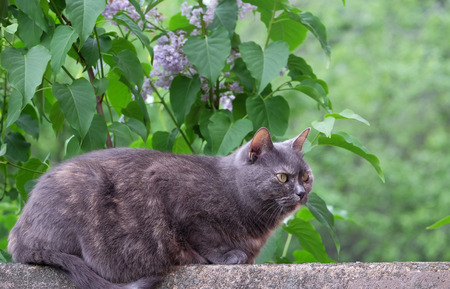 Gray cat on a fence on a blurred background Stock Photo