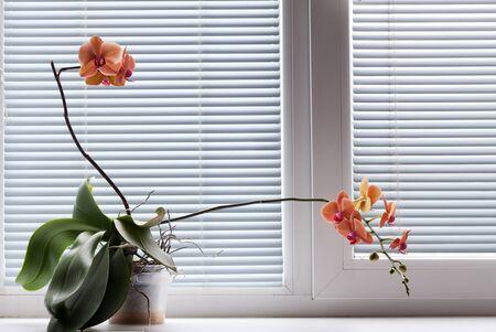 Beautiful orange blooming orchid on white window