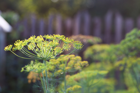 Grass dill closeup on blurred background with bokeh Stock Photo