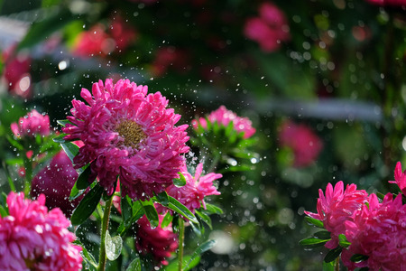 Flower asters in the rain with a bokeh