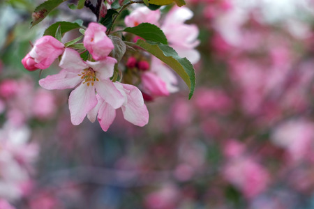Branch of a blossoming apple tree on a blurred background
