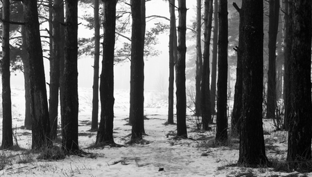 Pine forest in the winter in the fog