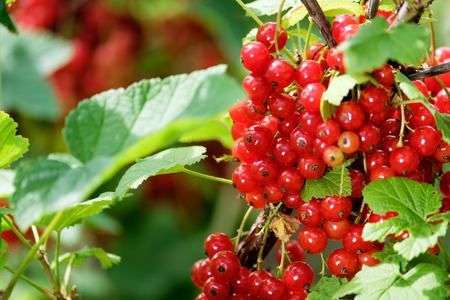 Photo of a ripe red currant on a bush