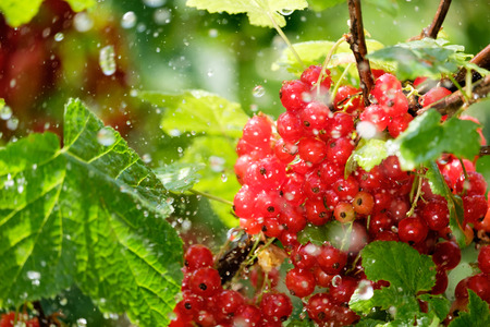 Photo of ripe red currant on a bush in the rain