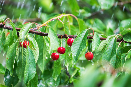 Ripe cherry on a branch in the rain
