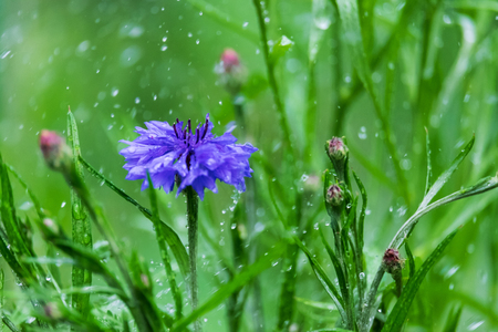 Flower of cornflowers in the rain on a blurred background Stock Photo