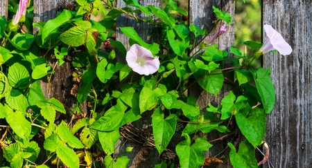 Flowers on the convolvulus on the fence