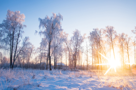 Birch in the snow against the sun