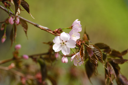 Beautiful Sakura flowers in bloom on blurred background