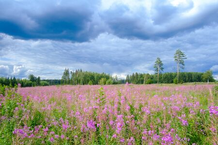 field with flowers ivan tea and rain clouds