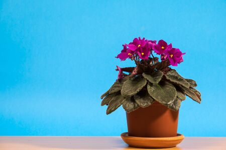 beautiful blooming violet flowers in a pot on a blue background